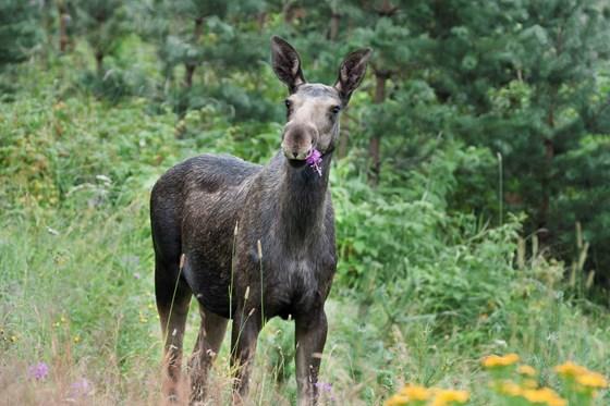 Hjå Statskog sin elgbørs får du oversikt over elg som er skote i heile Noreg.