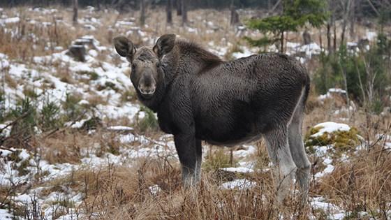 Nå kan du søke om elgjakt hos Statskog