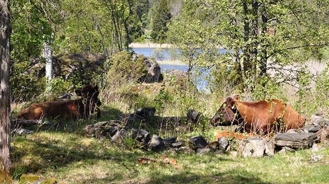 Kyr, sau og hester er med på å beite ned og holde kulturlandskapet ved Bøensæter åpent. Her har kuene funnet seg et hvilested i en gammel hustuft på området.