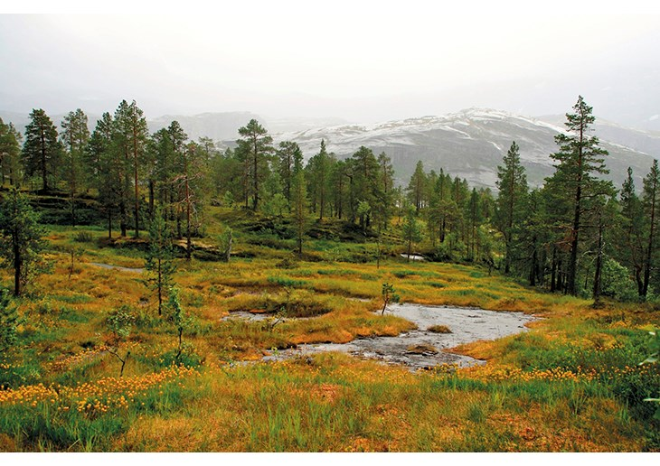 Figure 7.1 Bog asphodel in flower in Rago national park in Nordland. Norway has safeguarded a representative selection of its dramatic mountain scenery by implementing the national park plan.