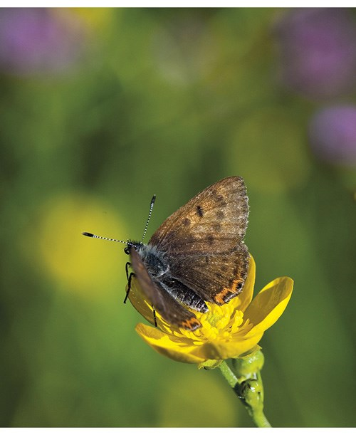 Figure 3.1 The violet copper (Lycaena helle) is red-listed in Norway, and is dependent on open semi-natural vegetation types found in traditional farmland.