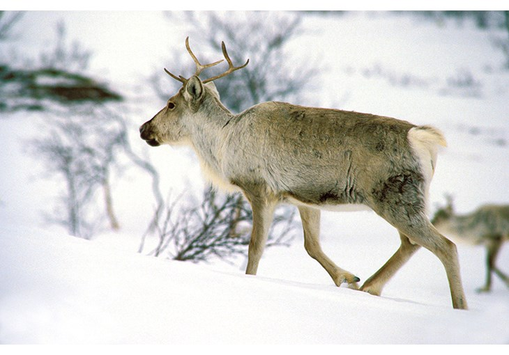 Figure 3.3 A wild reindeer on winter grazing grounds in the Dovre mountain range