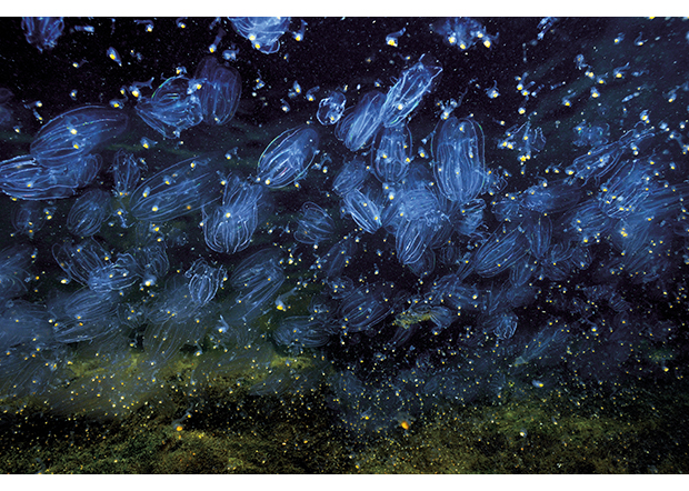 Figure 3.14 The comb jelly (Mnemiopsis leidyi)