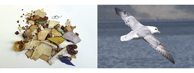 Figure 7.8 Fragments of plastic from seabird stomachs and a fulmar in flight