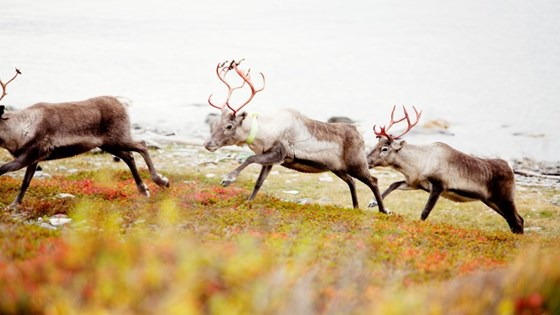 Sustainable Reindeer husbandry means an industry that has environmental, cultural as well as economic sustainability.