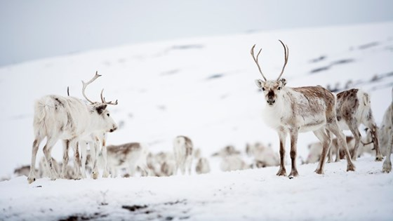 Reindeer husbandry is found in nearly 140 of the 485 Norwegian municipalities, covering about 40 % of the land area of Norway.
