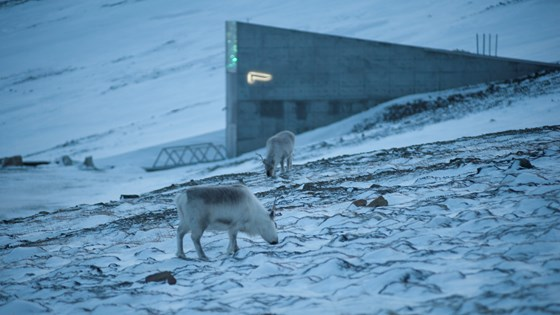 Reindeer graze freely around the Svalbard Global Seed Vault.