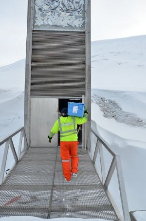 A new shipment of seeds from food plants has arrived at the Svalbard Global Seed Vault.